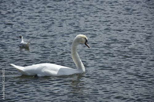 Keuken foto achterwand Zwaan Swan swimming in the lake