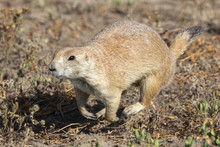 Black-tailed Prairie Dog (Cyno...