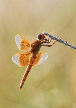 Flame Skimmer (Libellula Saturata) Dragonfly On A Perch, Wyoming, USA
