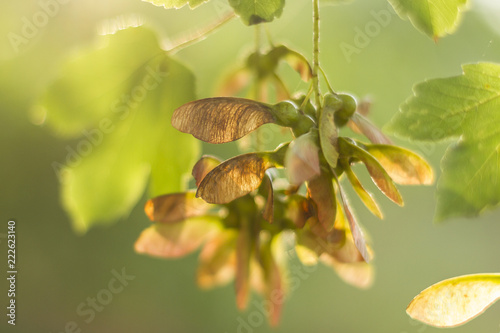 Photo Hanging bunches of Sycamore tree seeds (Acer Pseudoplatanus) hanging from a bran
