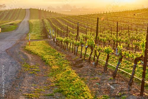 In de dag Verenigde Staten Vineyards at sunrise in California, USA