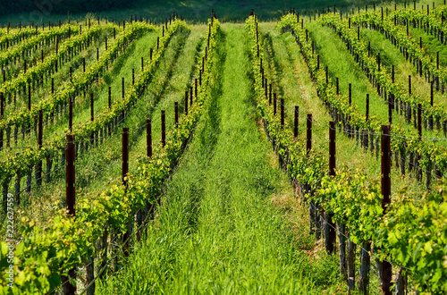 Foto op Canvas Pistache Vineyards in California, USA