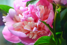 Blossoming Peony Macro In Soft Light For Prints, Posters, Design, Covers, Wallpapers. Nice Garden Flower. Spring And Summer Plants. Artistic Photo With Fuchsia Flower For Interior, Cards.