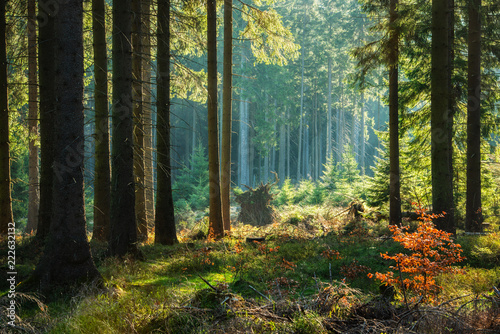 Foto op Plexiglas Bos Natural Forest of Spruce Trees in Autumn