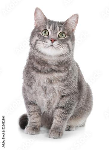 Obraz na plátně Portrait of gray tabby cat on white background. Lovely pet