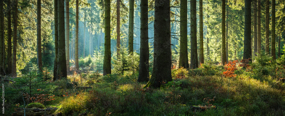 Fototapety, obrazy: Sunny Forest of Spruce Trees in Autumn, Panorama