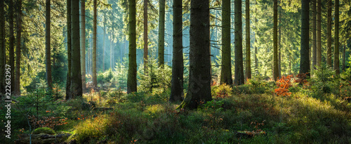 Foto auf Gartenposter Wald Sunny Forest of Spruce Trees in Autumn, Panorama