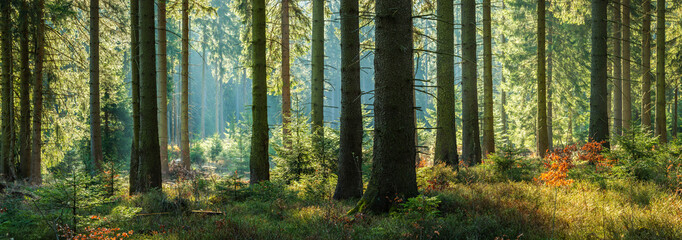 Sunny Panoramic Forest of Spruce Trees in Autumn