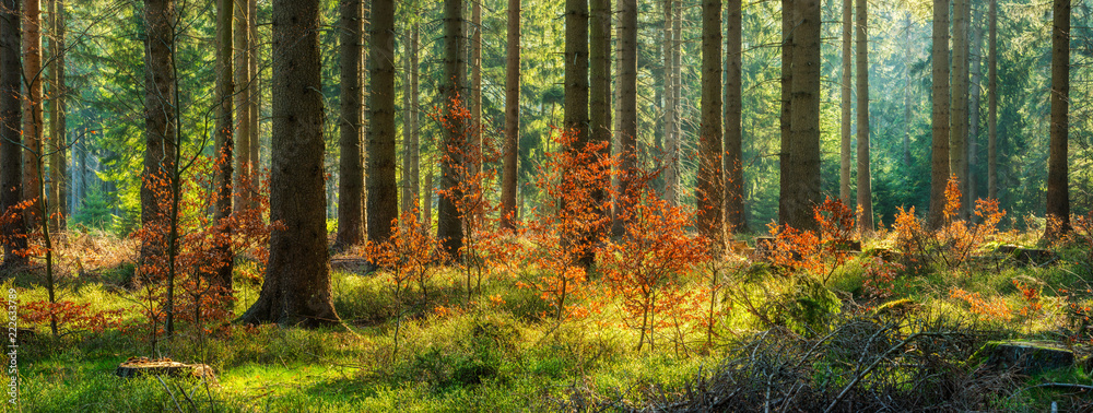 Panorama of Sunny Spruce Tree Forest in Autumn