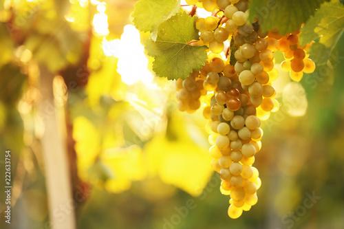 Papiers peints Vignoble Bunch of fresh ripe juicy grapes against blurred background