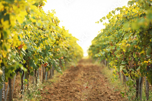 Papiers peints Vignoble View of vineyard rows with fresh ripe juicy grapes on sunny day