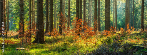 Foto op Plexiglas Bos Panorama of Sunny Spruce Tree Forest in Autumn