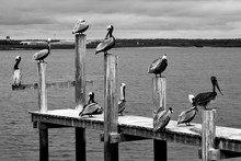 Group Of Pelicans Resting On Dock Pilings At Florida, USA