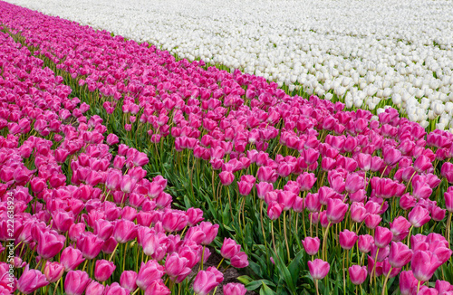 purple and white tulip fields with a strong perspective