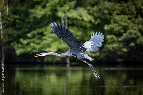 Fotografie, Obraz  Blue Heron Flying Over Lake