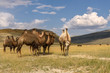 camels herd graze mountains smile