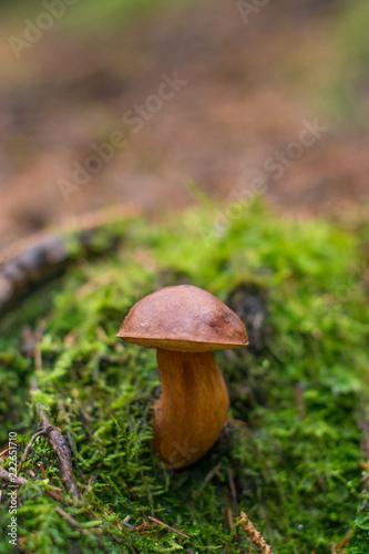 Fotografie, Obraz  Grzyb w lesie