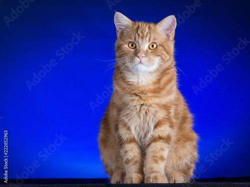 Fotografie, Obraz gatto rosso