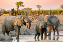 Group Of Elephants At Water Hole Refreshing And Drinking