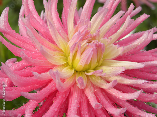 A yellow and pink dahlia