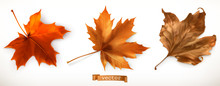 Maple Leaf. 3d Realistic Vecto...