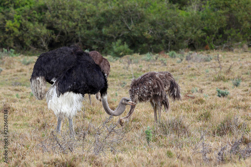 Foto op Aluminium Struisvogel Ostrich