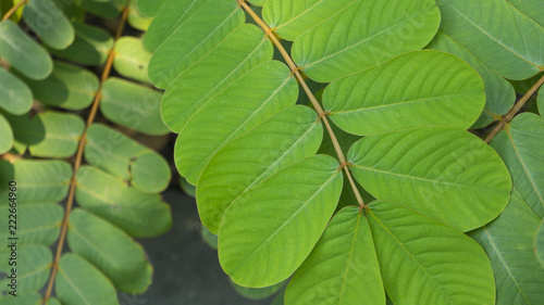 Stampa su Tela  fresh green Senna alata leaves in nature garden