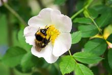 Closeup Of Garden Bumblebee (...