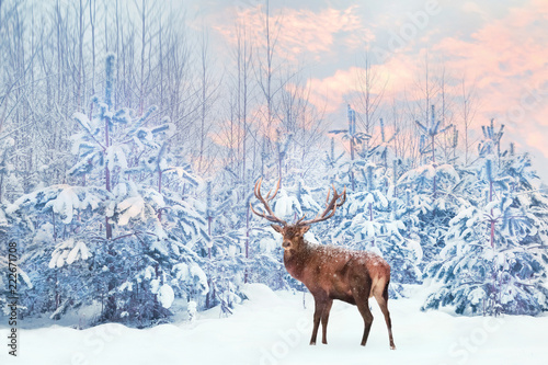 Lonely noble deer mail with big horns against winter fairy forest at sunset. Winter Christmas holiday image.