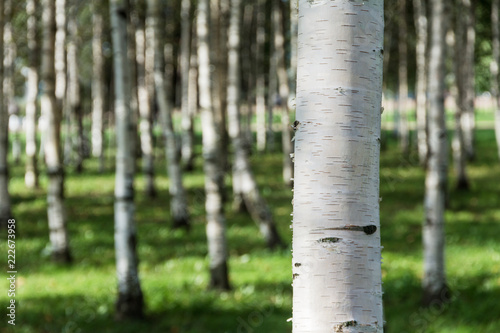birch grove close-up on a sunny summer day