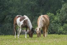 Quarter Horse Gelding And Arab Cross Mare