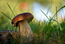 Porcini. Mushrooms Grow In The Forest. Vegetarian Diet Food. A Mushroom Grows In The Grass. Mushrooms In The Wild.