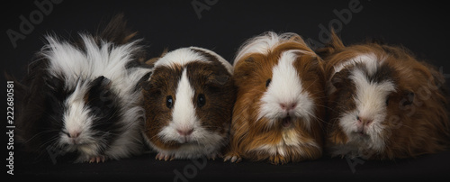 Four guinea pigs in studio shot Canvas Print