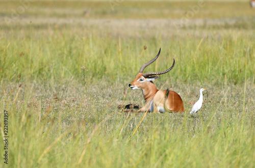 Spoed Foto op Canvas Antilope Lechwe Antilope