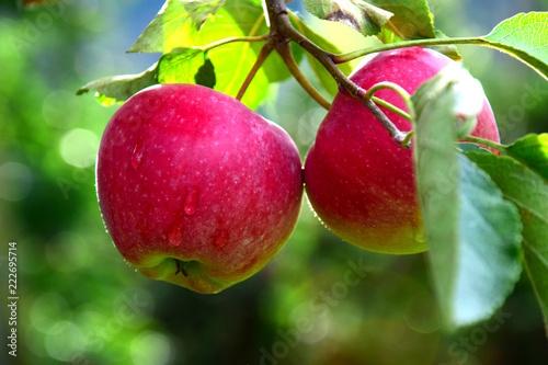 Zwei rote knackige Äpfel mit Regentropfen, Erntezeit