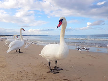 Swans, Seagull And Birds Hangi...