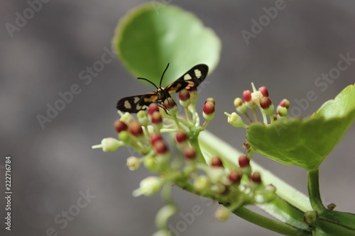 Bug on cissus quadrangularis flower. Canvas Print