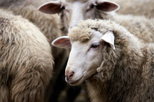 Sad Muzzle Sheep Livestock. Gr...