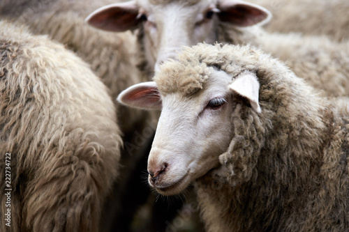 Spoed Fotobehang Schapen Sad muzzle sheep livestock. Group wool agriculture meadow animal