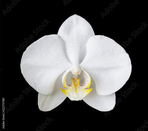 White moth orchid on black