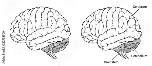 Human brain anatomy Side view outline Wallpaper Mural
