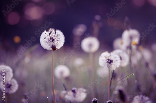 White dandelion blowing away flower closeup. Soft focus with bokeh, toning