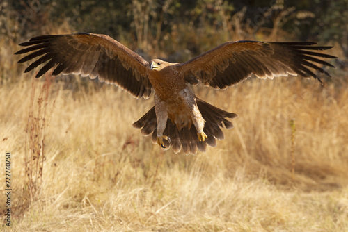 Fotomural Spanish Imperial Eagle. Aquila adalberti