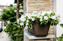 White Beautiful Flowers Plants Petunia