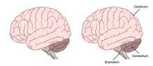 Human Brain Anatomy Side View Flat
