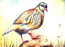 Chukar Bird Water Color Drawing