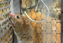 Mice Trapped In A Trap Cage. I...