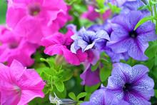 Pink And Violet Petunia Petuni...