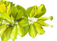 Leaves Of  Dwarf Umbrella Tree
