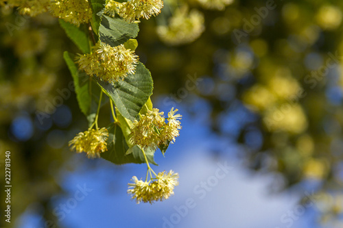 Fotografie, Obraz  blooming branches of small-leaved linden in a sunshine